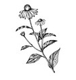 echinacea medical herb engraving vector image