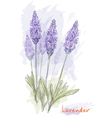 lavender flowers vector image