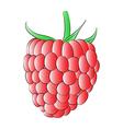 Red Raspberry vector image