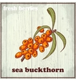 Hand drawing of sea buckthorn Fresh vector image