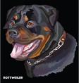 Rottweiler colorful portrait vector image