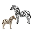Two zebras vector image