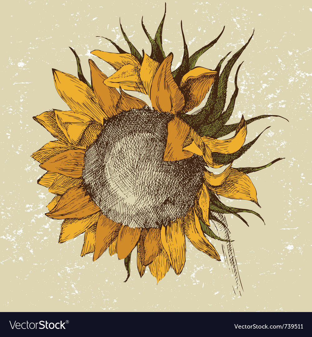 Hand drawn sunflower vector