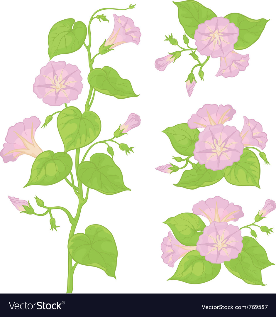 Flowers ipomoea with leaves vector