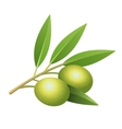 Isolated olives branch vector image