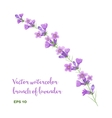 watercolor branch of lavender vector image