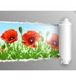 Red poppies in grass with ripped paper vector image vector image