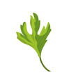 coriander herb to natural condiment of food vector image