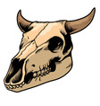 cow skull vector image vector image