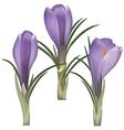 Crocus flower vector image