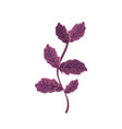 basil plant ingredient to condiment of food vector image