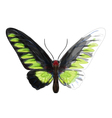 Butterfly Troganoptera Brookina vector image vector image