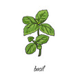 flat cartoon sketch hand drawn basil leaves vector image