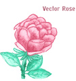 Gentle watercolor rose vector image