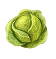 picture of cabbage vector image