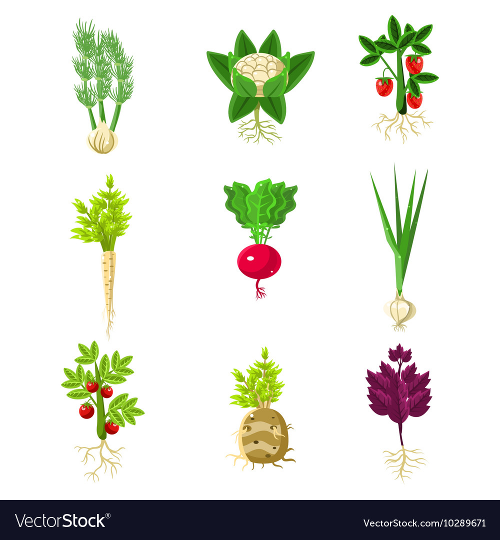 Fresh vegetables with roots primitive drawings set vector