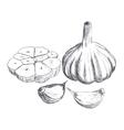 Hand drawn raw garlic sketch vector image