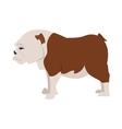 English bulldog breed vector image