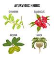 ayurvedic herbs set isolated on white gymnema vector image