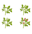 Raspberry growth phases vector image vector image