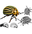 Colorado Potato Beetle vector image