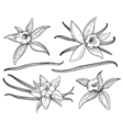 Vanilla pods or sticks hand drawing sketches vector image