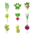 Fresh Vegetables With Roots Primitive Drawings Set vector image