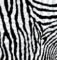 abstract skin texture of zebra hide pattern vector image
