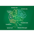 green chalkboard brain anatomy vector image