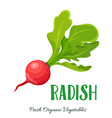 radish vegetable vector image