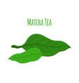 matcha tea leaves - natural organic plant flat vector image