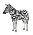 color image of a zebra vector image