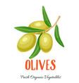 olives vegetable vector image