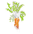 illustration of carrot vector image vector image