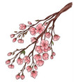 branch of cherry blossoms vector image