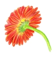 backside of marigold vector image