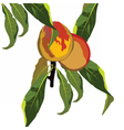 Fresh peaches on a branch vector image