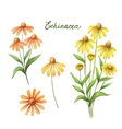 Watercolor of echinacea vector image