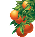 oranges isolated vector image