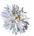 Beautiful Aster flower isolated on white vector image