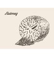 Nutmeg vintage hand drawn vector image
