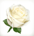 White rose vector image