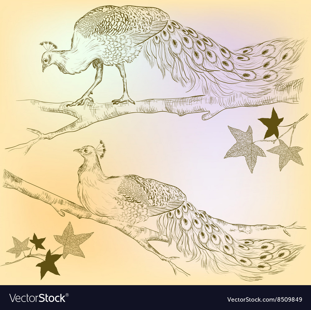Sketch of peacocks on a tree vector