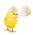 small yellow chicken vector image
