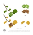 Filbert branch in summer and autumn vector image