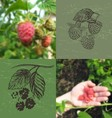 Blurred photo and ink hand drawn raspberries vector image