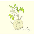 Illustration with celery with root leaf vector image
