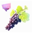 Grape hand drawn watercolor on a white background vector image