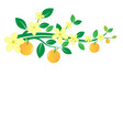 Branches of oranges and flowers on white vector image