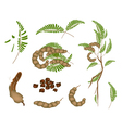 Set of Fresh Tamarind Pod and Leaves vector image